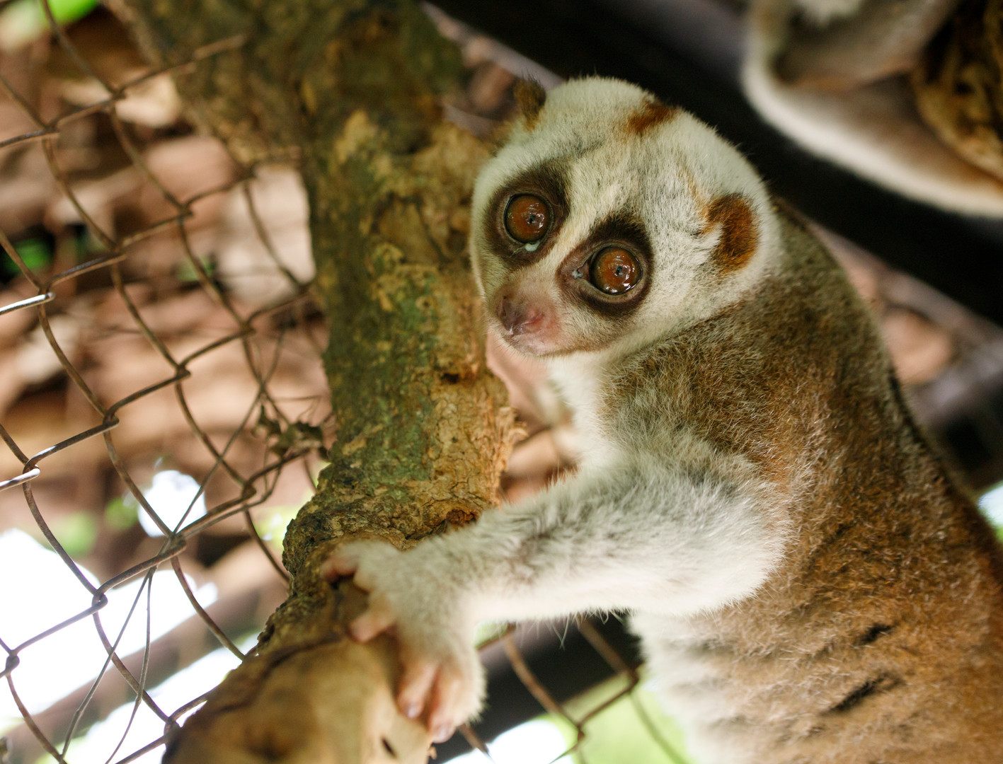 Slow Loris are the only primate known to be venomous. Unfortunately this mostly nocturnal creature often ends up in the pet trade, which it is not at all well suited to. As with some other species, the internet has further allowed a desire to keep these animals to grow. Wildlife Alliance aims to educate the public about responsible treatment of wildlife and forests in Cambodia. Phnom Tamao Wildlife Rescue Centre.