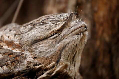 Tawny Frogmouth Brisbane, Queensland, Australia