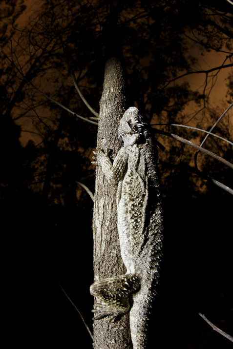 Sleeping Eastern Bearded Dragon (Pogona barbata) clasped vertically to a tree in Brisbane, Australia 2020