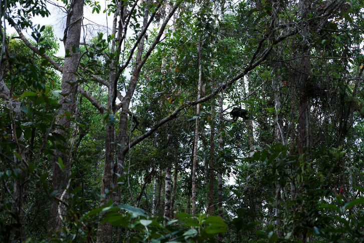Sun bear high in the trees of Wildlife Alliance Wildlife Release Station in the Cardamom Mountains of Koh Kong Province, Cambodia