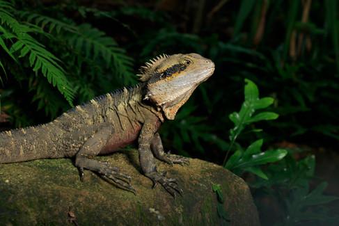 Eastern Water Dragon (Intellagama lesueurii) Brisbane, Queensland, Australia