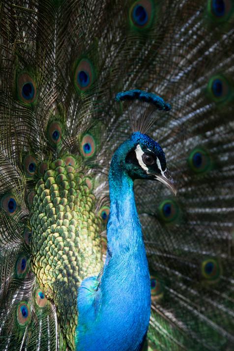Peacock male Brisbane, Queensland, Australia