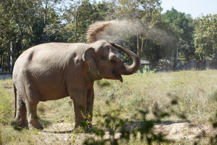 Lucky the Asian Elephant enjoys a dust bath at the elephant compound of Phnom Tamao Wildlife Rescue Centre