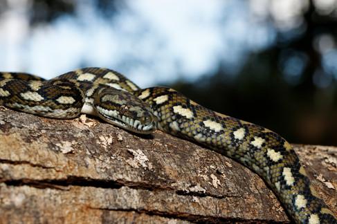 Coastal Carpet Python (Morelia spilota mcdowelli) Brisbane, Queensland, Australia