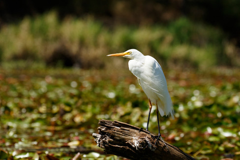 Intermediate Egret D'Aguilar National Park, Queensland, Australia