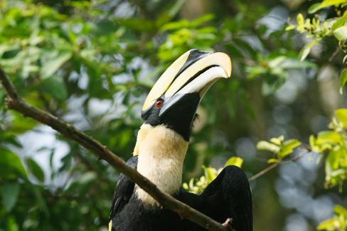 Great Hornbill Koh Kong Province, Cambodia