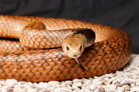 Male Eastern Brown Snake (Pseudonaja textilis) Captive male Brisbane, Queensland, Australia