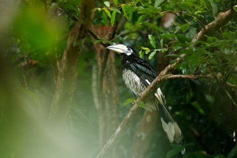 Oriental Pied Hornbill Koh Kong Province, Cambodia