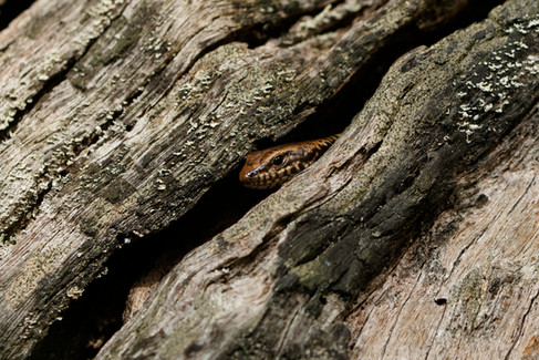 Murray's Skink (Eulamprus murrayi) peering from a fallen log in the Mt Mee section of D'Aguilar National Park, Queensland, Australia