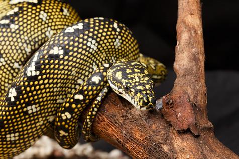 Diamond Python (Morelia spilota spilota) Captive female Brisbane, Queensland, Australia