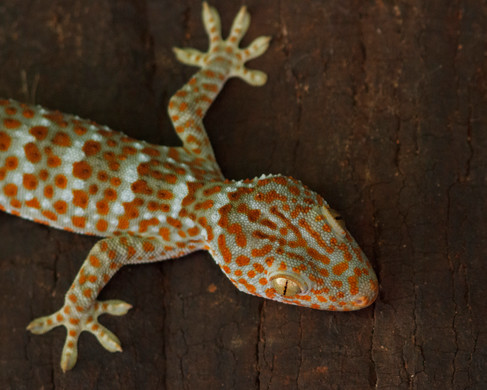 0004_Tokay Gecko Cambodia_01092018.JPG