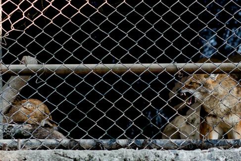 Jackals at Kathmandu Zoo, Nepal 2016