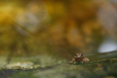 Round-Tongued Floating Frog (Occidozyga martensii) Koh Kong Province, Cambodia