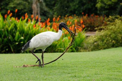 Australian White Ibis Brisbane, Queensland, Australia