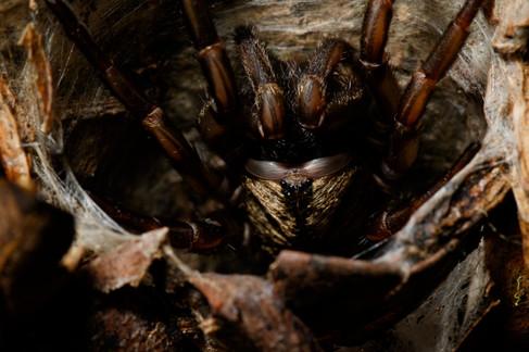 Brisbane Trapdoor Spider (Arbanitis longipes)  Mt Glorious, Queensland, Australia