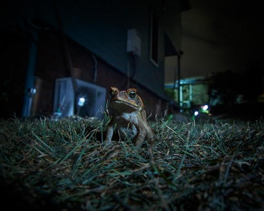 0073rampant project_feral animals_cane toads_Joshua Prieto Photography23082017.JPG