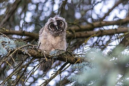 long-eared-owl-5391442_1920.jpg