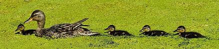 duck-3527585_960_720.jpg