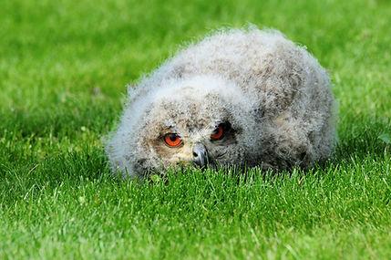 eagle-owl-2705565_1920.jpg