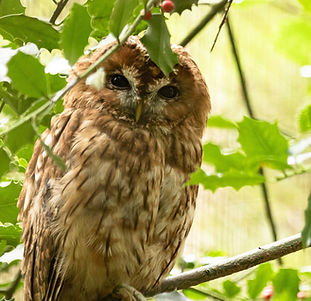 tawny-owl-5563749_1920.jpg