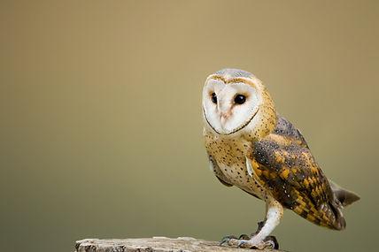 barn-owl-2988291_1920.jpg
