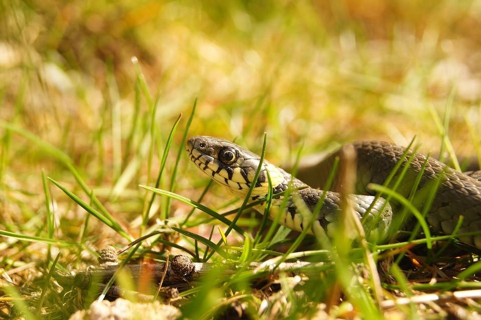 snake-3982377_960_720.jpg