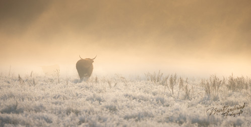 The cow on the morning