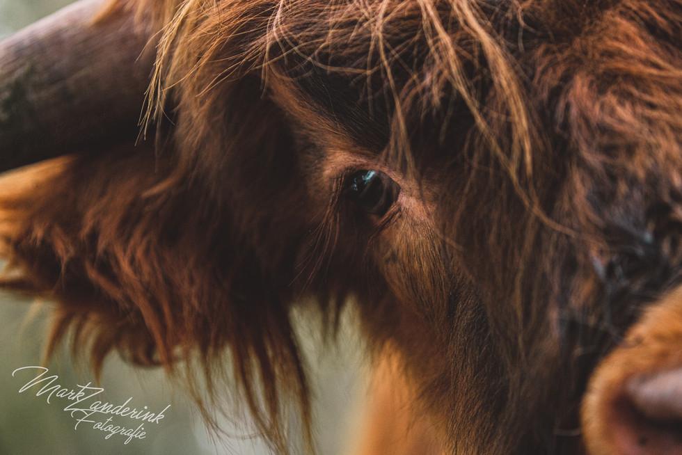 Highland cow eye