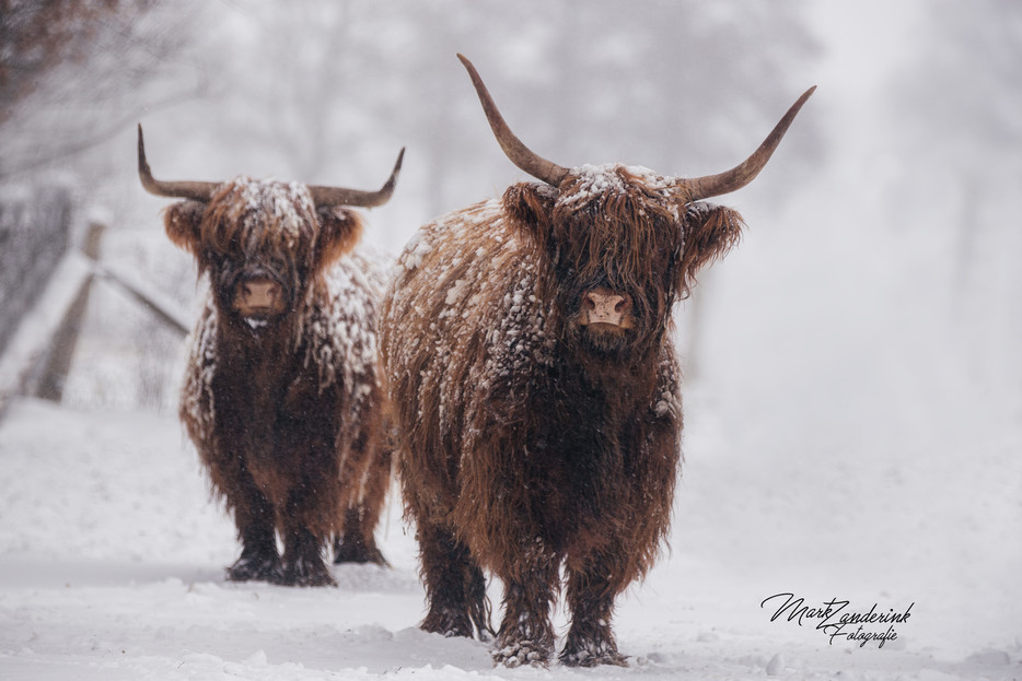 highland cows in the snow