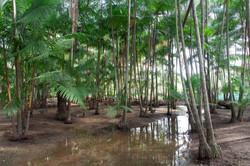 Açaizal na Ilha de Ingapijó