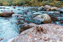Tarântula na trilha do Rio do Boi