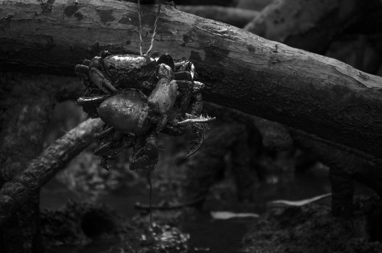 Caranguejeiros no Delta do Parnaíba