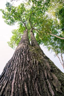 Castanheira na Amazônia paraense