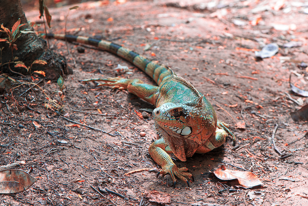 Iguana no Crato
