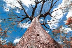 Árvore frondosa no Crato