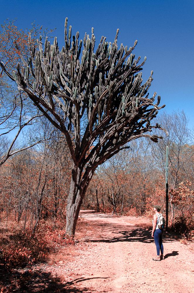 Mandacaru no Parque Nacional da Serra da Capivara