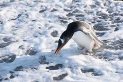 La Pinguinera