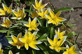wild tulip in The Lodge rock garden.jpg