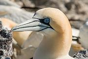 gannet 1 (1 of 1).jpg