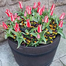 tulips_3 (6 of 6).jpg