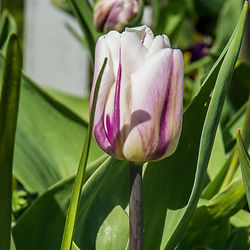 tulips (8 of 27).jpg