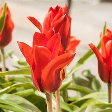 tulips (16 of 27).jpg