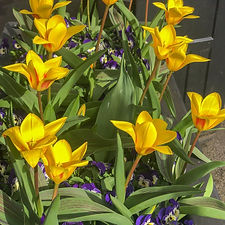 tulips_2 (7 of 8).jpg