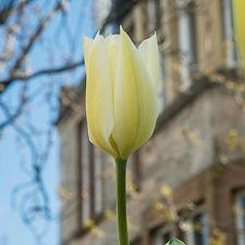 tulips (15 of 27).jpg