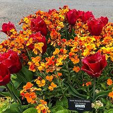 tulipps (5 of 10).jpg