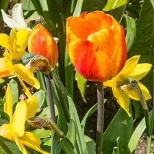 tulips (27 of 27).jpg