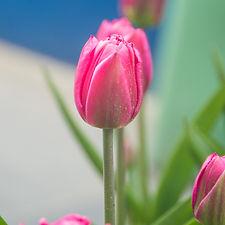 tulips (21 of 27).jpg