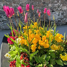 tulips_4c (1 of 2).jpg