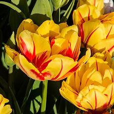 tulips_4 (2 of 5).jpg