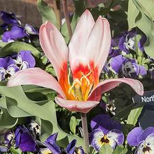 tulips (6 of 27).jpg